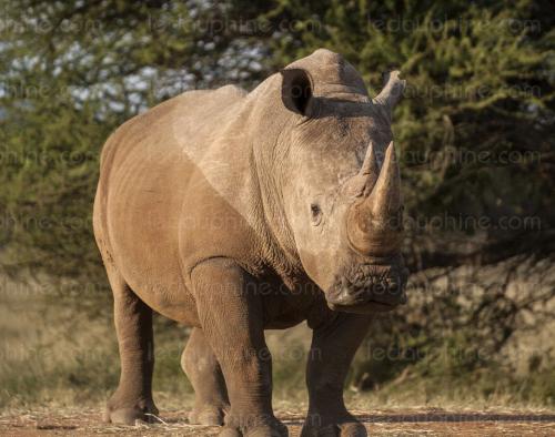 rhinocéros.png
